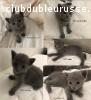 4 magnifiques chatons bleu russe disponibles à réserver