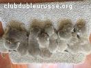 4 magnifiques chatons pour Merveille de La Ferlandière